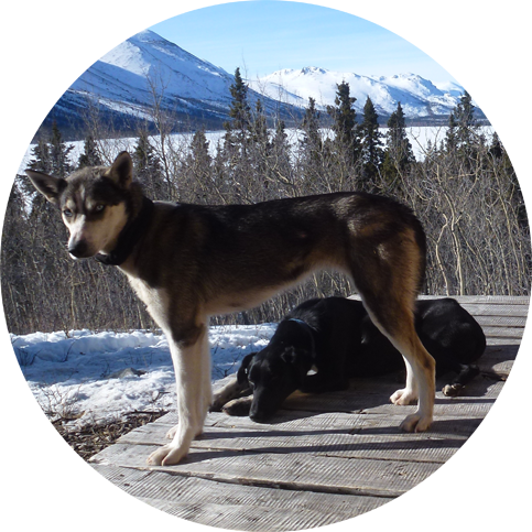 Into the Wild Adventures, dog sledding tours and winter adventures in the Yukon Territory, Canada - Ethical mushing
